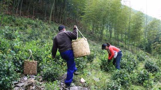 正山小种红茶的加工工艺