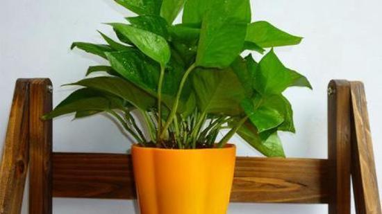 绿萝的养殖方法和注意事项 绿萝的养殖方法和注意事项有哪些