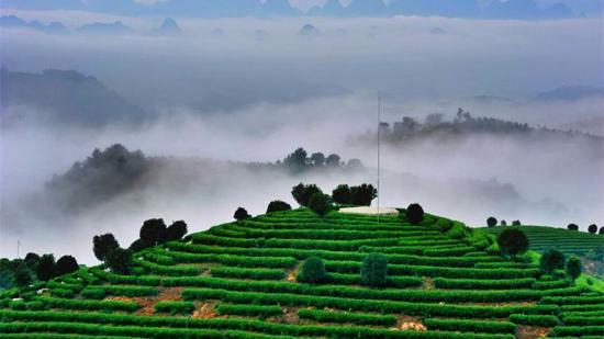 为什么高山云雾出好茶