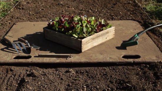栽培技术:错位种植法