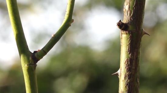 栽培技术:扦插繁殖方法