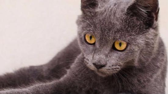 什么是俄罗斯蓝猫