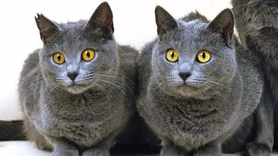 什么是卡尔特猫