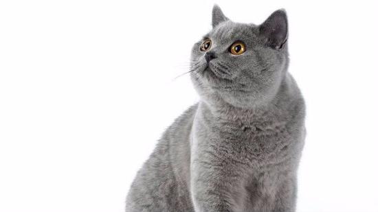 什么是短毛猫