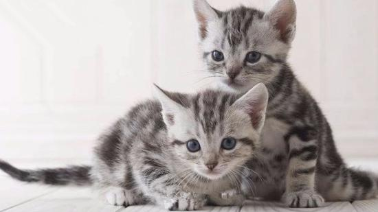 什么是美国短毛猫