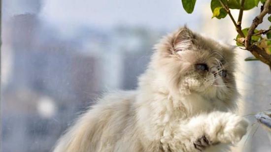 什么是异国短毛猫