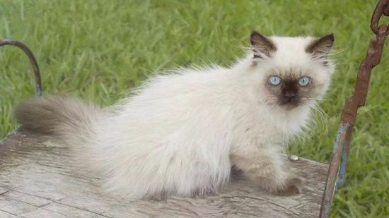 什么是喜马拉雅种猫