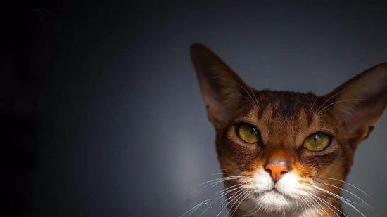 什么是阿比西尼亚猫