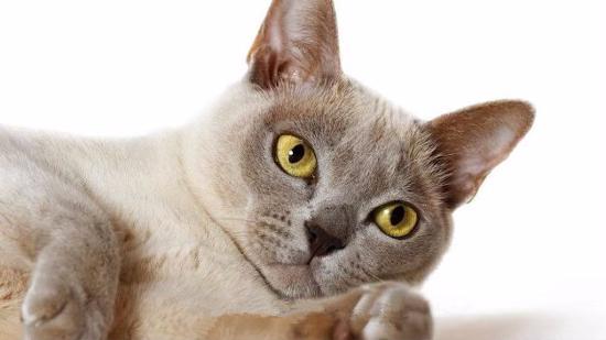 什么是缅甸猫