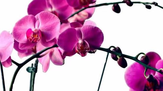 蝴蝶兰的养殖方法