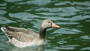 鸭子主要生活在陆地还是水中