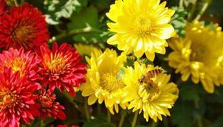 菊花的种类和功效