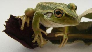 青蛙皮的功效与作用