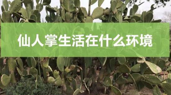 仙人掌的生活环境是什么 仙人掌生活在什么环境