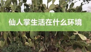仙人掌的生活环境是什么