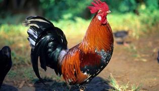 鸡有哪些特征和特点