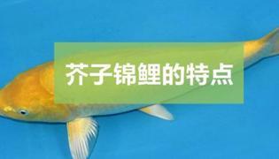 芥子锦鲤有什么特点