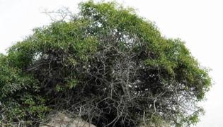 麻梨疙瘩树怎么辨认
