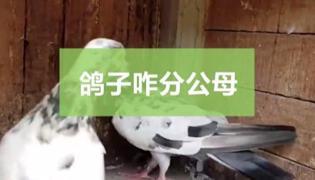 鸽子怎么辨别雌雄
