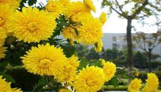 菊花有什么样的品质与精神