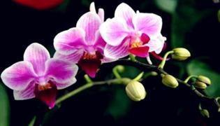 蝴蝶蘭一般幾點開放