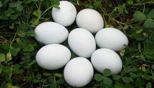 鹅蛋可以煎着吃吗