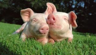 有猪瘟的猪肉能吃吗