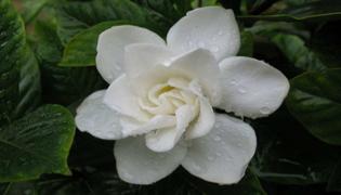 如何养殖栀子花