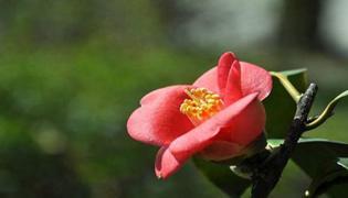 耐冬花和茶花有什么区别