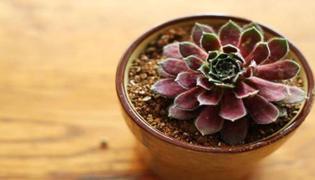 多肉紫牡丹怎么养殖