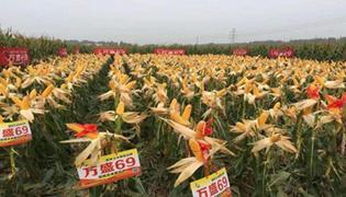 万盛69玉米品种介绍
