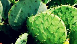 仙人掌的种植方法和注意事项