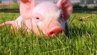 母猪非瘟有哪些表现