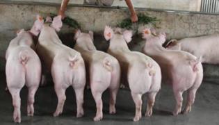 新美系二元母猪介绍