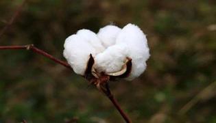 新陆早52号棉花品种
