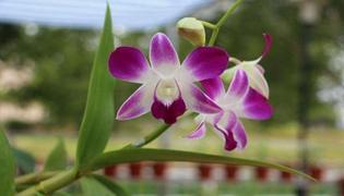 紫皮石斛种植技术