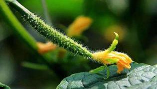 黄瓜怎么种植的方法