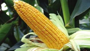 金海2010玉米品种介绍