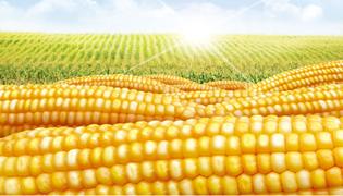 吉单1402玉米种子介绍