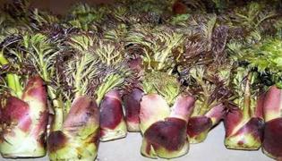 刺老包种植技术
