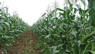 纯种甜粒玉米和纯种非甜粒玉米间行种植