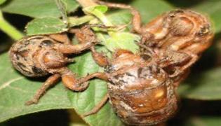 金蝉怎么养殖