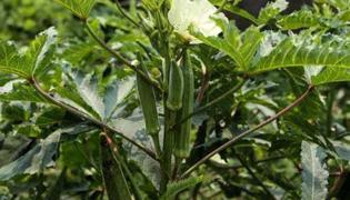 秋葵種植方法