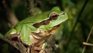 蛙眼的特点有哪些