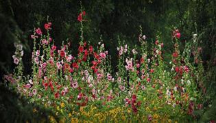 蜀葵花种子怎么种植