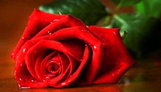 玫瑰鲜花怎么养