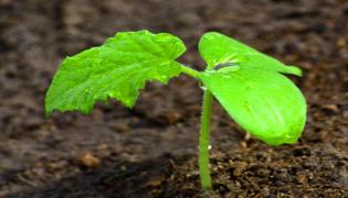 黄瓜几天发芽