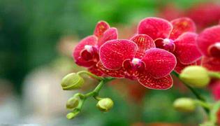 蝴蝶蘭一天開放的時間是什么時候