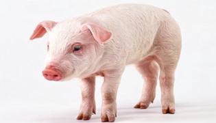 非洲猪瘟传染人吗