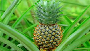 菠萝绿色能吃吗